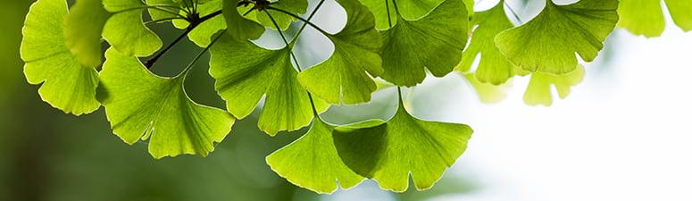 Descubre el Gingko biloba el árbol de la logevidad