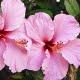 flor hibisco más energía