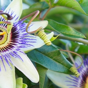 Pasiflora y como controlar los nervios