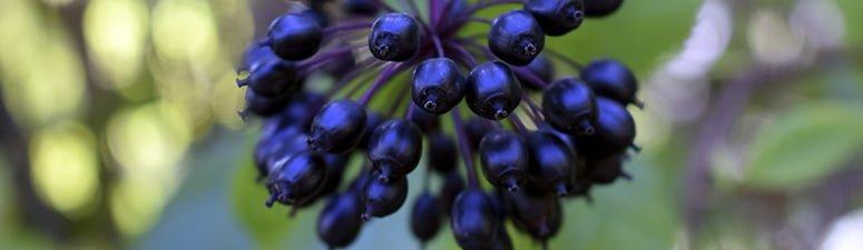 susaron septiembre ginseng siberiano 775x225px - El regaliz, una planta mediterránea perfecta para el calor